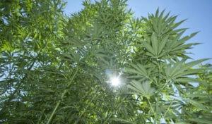 canapa campo sostenibile cannabis light 300x176 - canapa-campo-sostenibile_cannabis_light