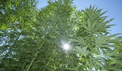 canapa campo sostenibile cannabis light - Cannabis legale in Italia informazioni, cannabis-light