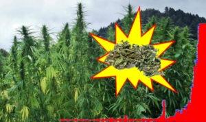 boom acquistare cannabis light legale in italia 300x178 - boom acquistare cannabis light legale in italia