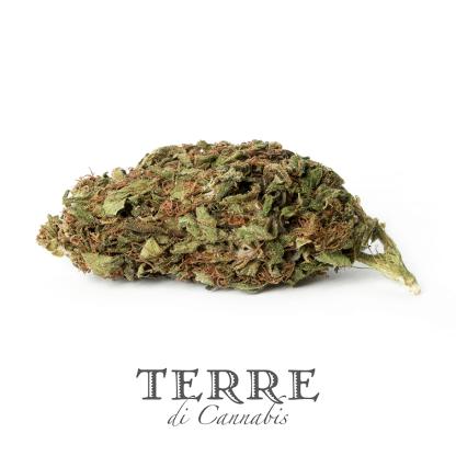 6 TERRE cannabis SANTA 1 LR 416x416 - Santa Verde - 1gr - by Terre di Cannabis novita, infiorescenze, cannabis-light